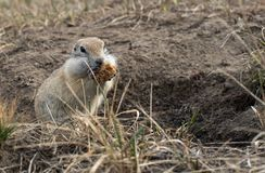 Gopher woke up in the spring. Fluffy animal gopher eats bread at the burrow on a warm spring day in the Park Royalty Free Stock Photos