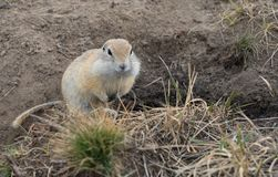 Gopher woke up in the spring. Fluffy animal gopher eats bread at the burrow on a warm spring day in the Park Stock Images