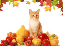 Fluffy autumn cat Royalty Free Stock Photo