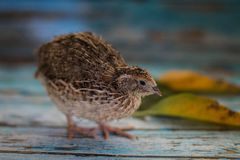 Fluffy baby bird of a quail of a natural color royalty free stock photography