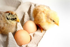 Hatched Babies Stock Image
