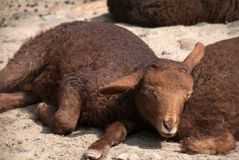 Fluffy baby sheep sleeping. In the sun Royalty Free Stock Images