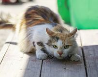 Fluffy beautiful cat funny sneaks forward right on a wooden porc Royalty Free Stock Image