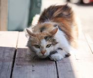 Fluffy cat funny sneaks forward right on a wooden porch. Fluffy beautiful cat funny sneaks forward right on a wooden porch Royalty Free Stock Photo