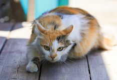 Beautiful cat funny sneaks forward right on a wooden porch. Fluffy beautiful cat funny sneaks forward right on a wooden porch Stock Images