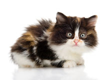 Fluffy  beautiful kitten. looking at camera. Royalty Free Stock Photo