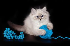 Fluffy beautiful kitten Nevskaya Masquerade with blue eyes posing with a ball of woolen threads on a black background.