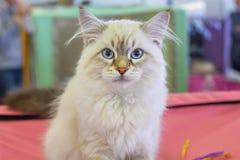 Neva Masquerade kitten of siberian breed. royalty free stock photo