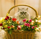 Fluffy beautiful silver cat Scottish breed in a wicker basket. With roses stock photos