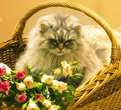 Fluffy beautiful silver cat Scottish breed in a wicker basket. With roses royalty free stock image