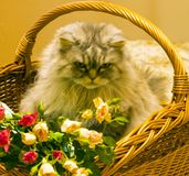Fluffy beautiful silver cat Scottish breed in a wicker basket. With roses royalty free stock photo