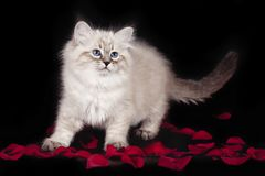 Fluffy beautiful white kitten of Neva Masquerade with blue eyes, three months old, posing on black background with rose