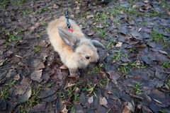 Fluffy beige rabbit walks on lead on wet leaves Stock Photography