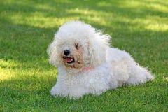 Fluffy bichon frise dog. Photo of a lovely fluffy bichon frise dog posing on the grass stock photography