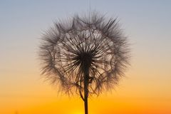 Fluffy big dandelion against the backdrop of the setting sun royalty free stock photography