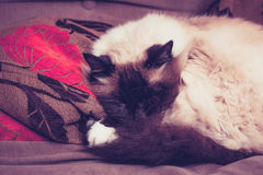 Fluffy Birman cat sleeping on sofa Stock Photo