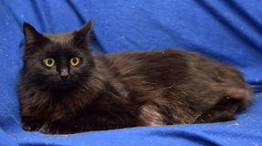 Fluffy black cat on a blue background Royalty Free Stock Images