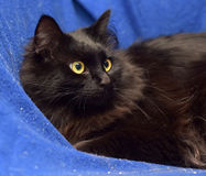 Fluffy black cat on a blue background Stock Photography