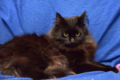 Fluffy black cat on a blue background Royalty Free Stock Photography