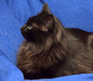 Fluffy black cat on a blue background Stock Image