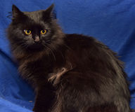 Fluffy black cat on a blue background Stock Photos