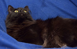 Fluffy black cat on a blue background Stock Images