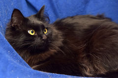 fluffy black cat on a blue background Royalty Free Stock Photos