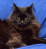Fluffy black cat on a blue background Stock Photo