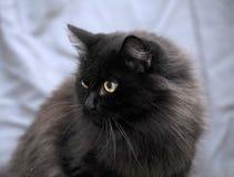Fluffy black cat Stock Image