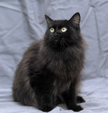Fluffy black cat Royalty Free Stock Image