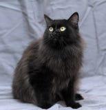 Fluffy black cat Royalty Free Stock Image