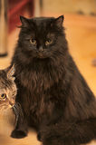 Fluffy black cat Stock Photo