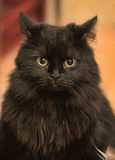 Fluffy black cat Royalty Free Stock Photos