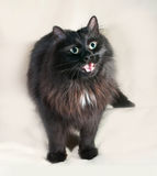 Fluffy black cat with green eyes standing on gray Stock Photos