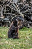 Fluffy black cat on green grass. Firewood in the background, ukrainian farm at the end of March royalty free stock image