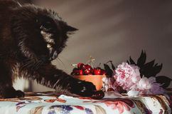 Fluffy black cat playing with red berries on table, vintage tablecloth, print fruit and blossom floral. Animal male Royalty Free Stock Photography
