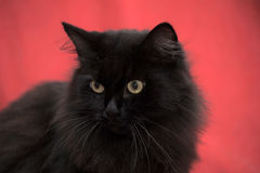 Fluffy black cat Stock Photos