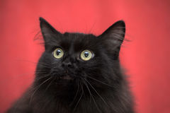Fluffy black cat Royalty Free Stock Photo