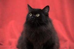 Fluffy black cat Stock Photo