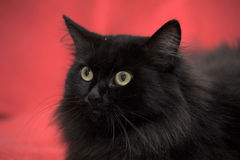 Fluffy black cat Stock Images