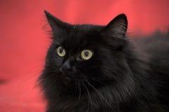 Fluffy black cat Stock Images