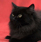 Fluffy black cat Royalty Free Stock Photography