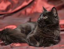 Fluffy black cat Stock Photos