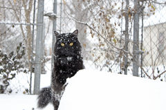 Fluffy black cat in the snow Royalty Free Stock Photos