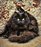 Fluffy black cat washes Royalty Free Stock Photo