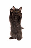 Fluffy Black Kitten Standing Royalty Free Stock Images