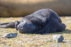 Fluffy black Seal pup. Southern Elephant Seal Pup. Royalty Free Stock Image