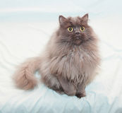 Fluffy black smoky cat with yellow eyes sitting Stock Photo