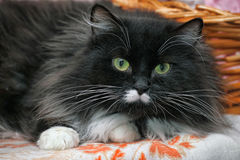 Fluffy, black and white cat Royalty Free Stock Photo