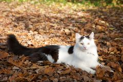 Fluffy black and white cat on leaves Stock Image